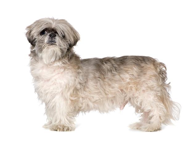 ラサアプソ6ヶ月。分離された犬の肖像画 Premium写真