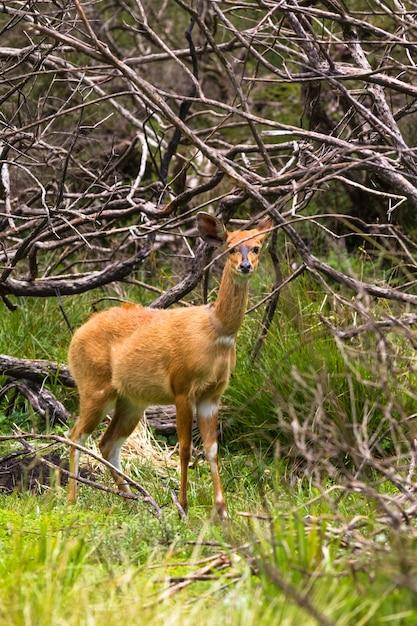 Светло-коричневая антилопа кустарника на опушке леса кения Premium Фотографии