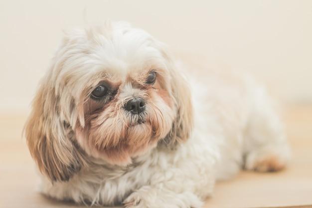 Cane marrone chiaro di razza mal-shih davanti a un muro bianco Foto Gratuite