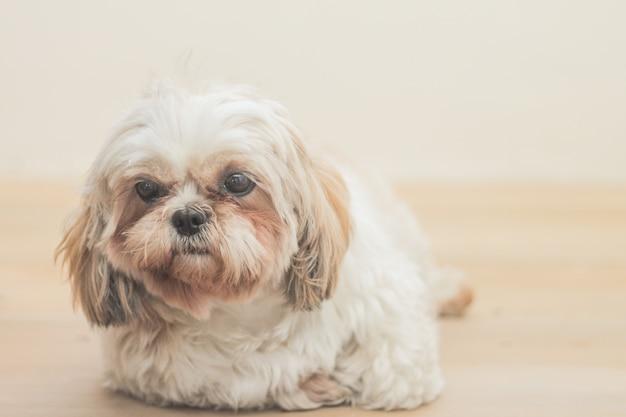 白い壁の前で繁殖するマルシーの薄茶色の犬 無料写真
