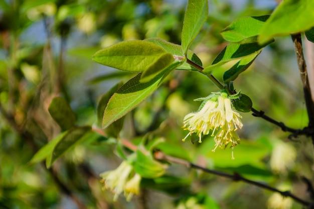 葉を背景に晴れた日にシベリアスイカズラの軽い蜂蜜の春の花。 lonicera Premium写真