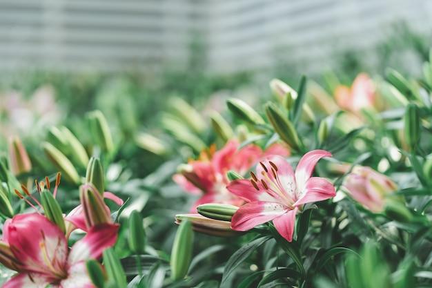 Lil white (lily, lilium hybrids) blooming in the garden, gardening ideas decorating Premium Photo