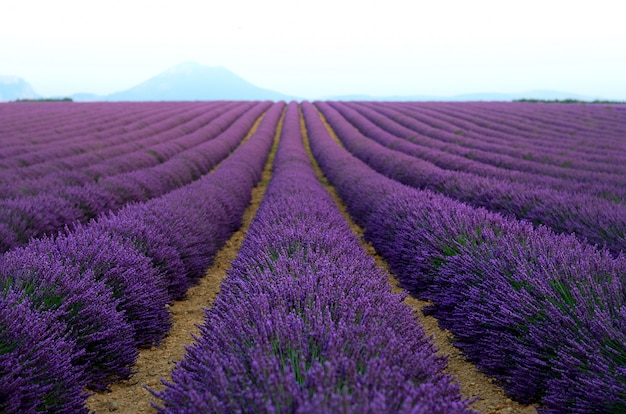 Lilac lavender field, summer landscape near valensole in provence, france. Premium Photo