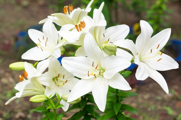 Lilies in the garden Premium Photo