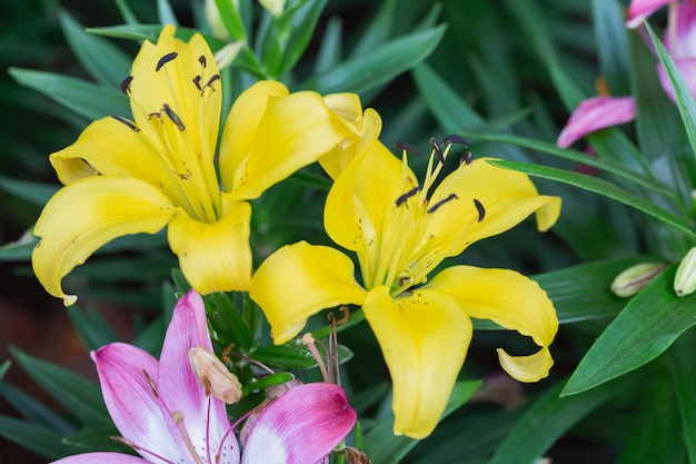 Lily flower and green leaf background in gardenbrids Premium Photo