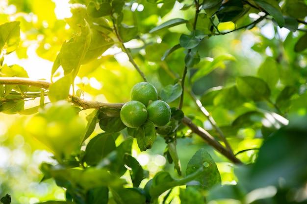 Lime be fresh Premium Photo