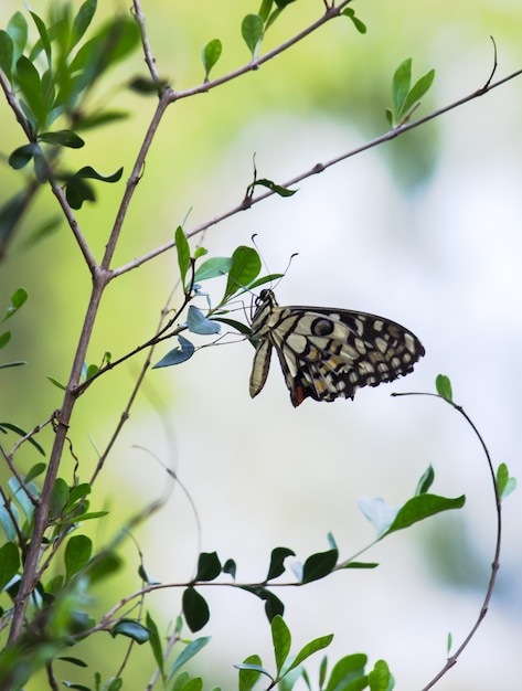 Lime butterfly hanging on the leaves Premium Photo