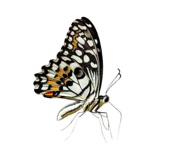 Лайм бабочка (papilio demoleus) изолированы. Premium Фотографии