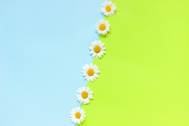 Line chamomiles daisies flowers on green and blue color paper background in minimal style copy space template for lettering, text or your design creative flat lay top view Premium Photo