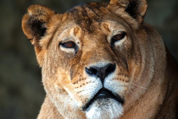 Lion in the african savannah masai mara Premium Photo
