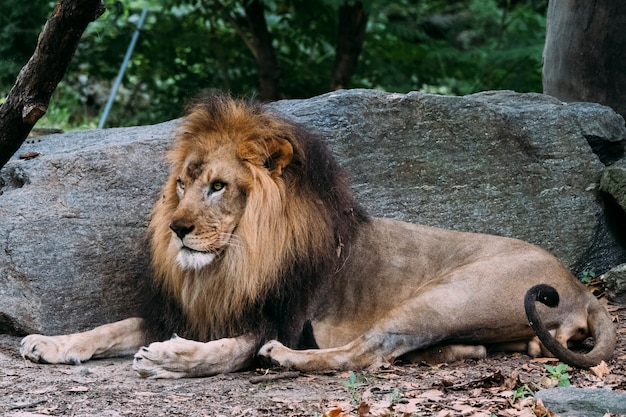 Lion at the bronx zoo. new york Premium Photo