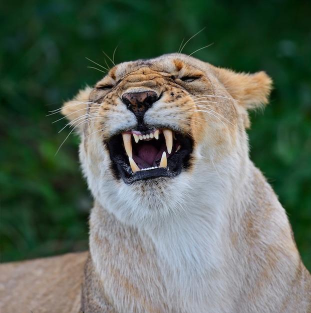 アフリカのサバンナのライオンマサイマラ Premium写真