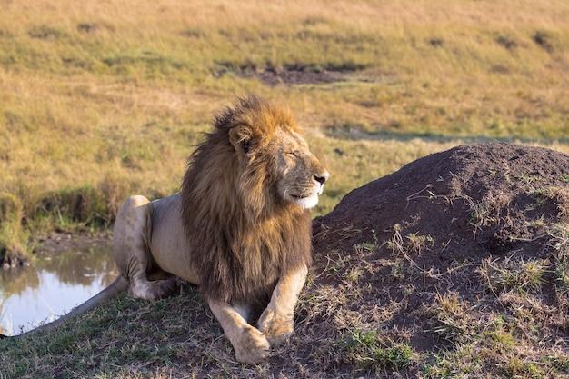 Лев отдыхает у воды африка масаи мара кения Premium Фотографии