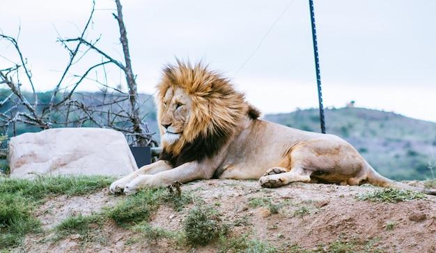 Лев лежит на холме и смотрит в другую сторону Бесплатные Фотографии