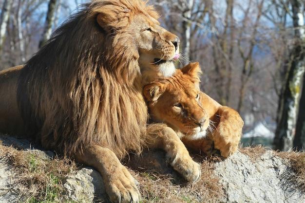 Lion and lioness in the safari zoo Premium Photo