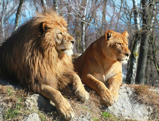 Lion and lioness in the safari zoo Premium Photo