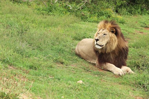 日光の下で緑に覆われたフィールドで横になっているライオン 無料写真