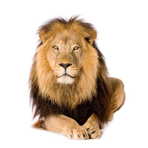 Lion, panthera leo on a white isolated Premium Photo