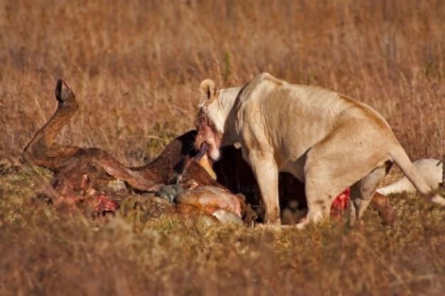 Lion prey   nsfw Free Photo