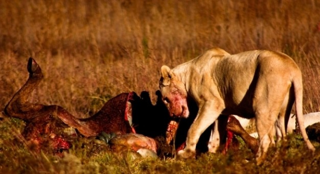Lion prey   nsfw Free Photo