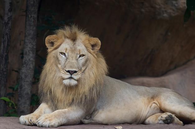 Lion resting and  watching Premium Photo