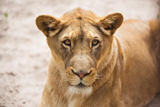 雌ライオンのクローズアップの肖像画、雌ライオンの顔 Premium写真