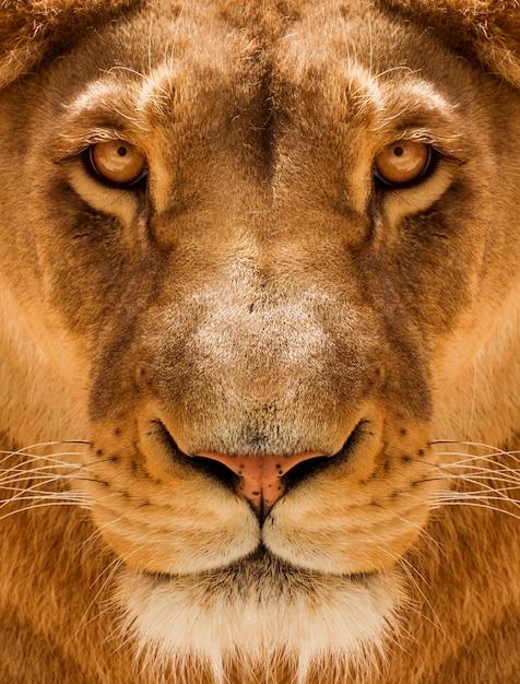 Львица портрет крупным планом, лицо женщины льва Premium Фотографии