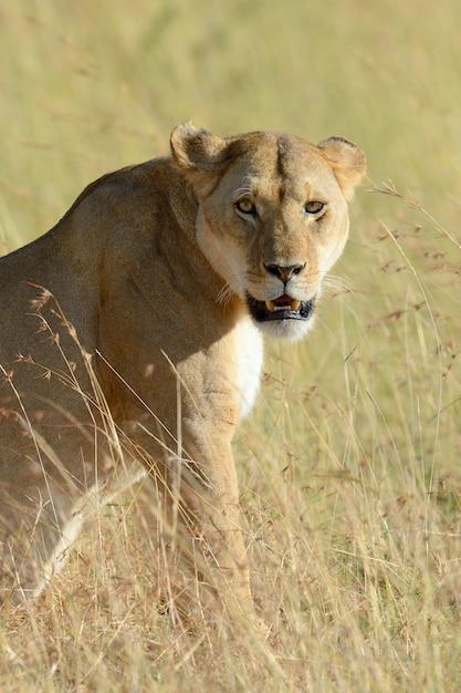 ケニア国立公園の雌ライオン 無料写真