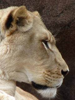 Lioness in profile Free Photo