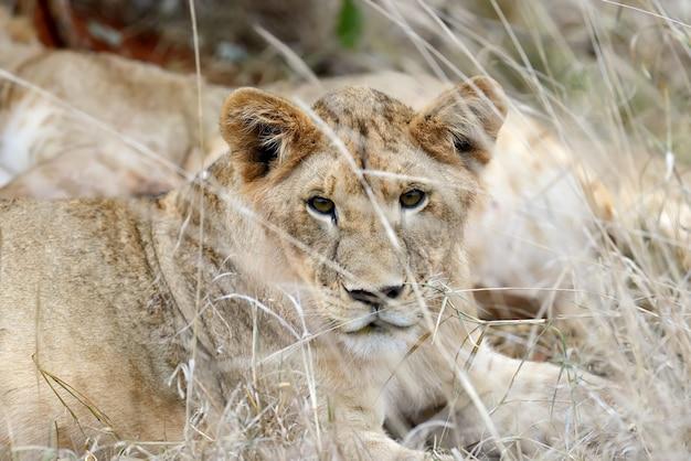 サバンナの雌ライオン 無料写真