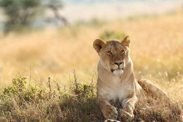 芝生で覆われたフィールドで誇らしげに休んでいる雌ライオン 無料写真