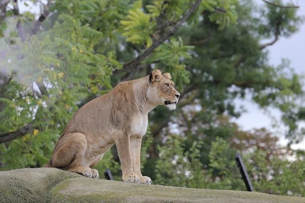La leonessa si siede sulla pietra Foto Gratuite