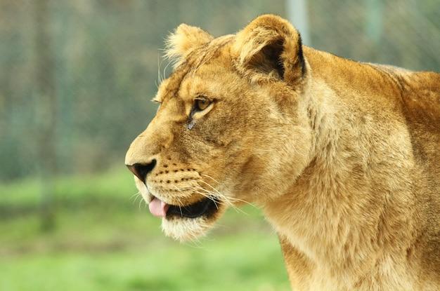 A lioness in the zoo safari Premium Photo