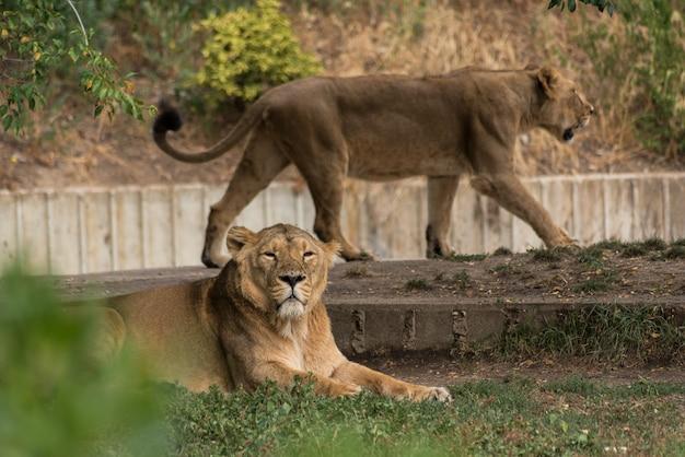 The lioness Premium Photo