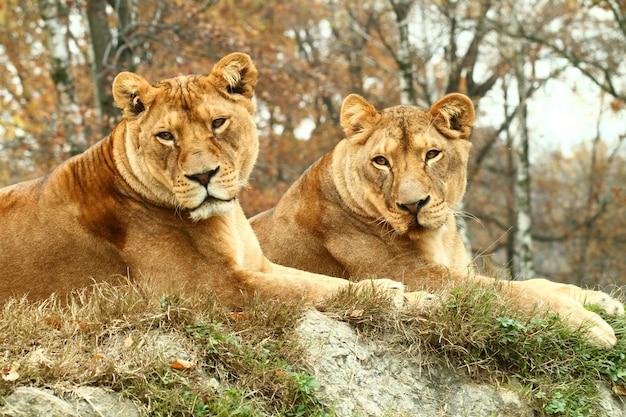 Lionesses at the safari zoo Premium Photo