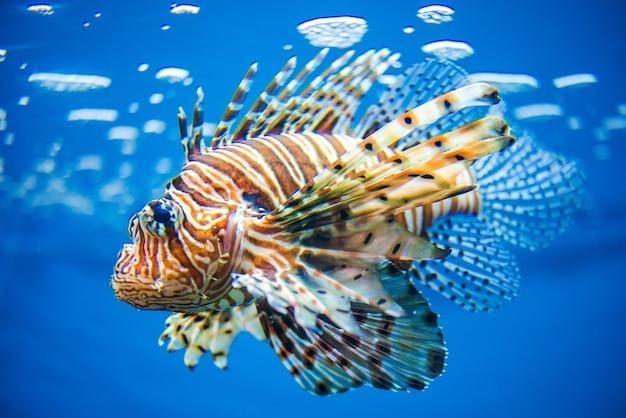 Lionfish Бесплатные Фотографии