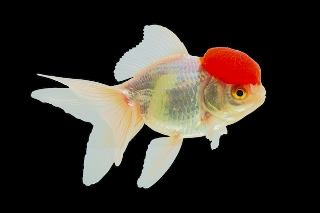 Lionhead goldfish or ranchu goldfish, red head, white body Premium Photo
