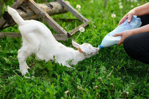 Маленькая коза пьет молоко в бутылках Premium Фотографии