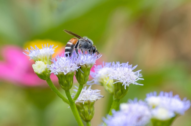 Little bee on the violet flower Premium Photo