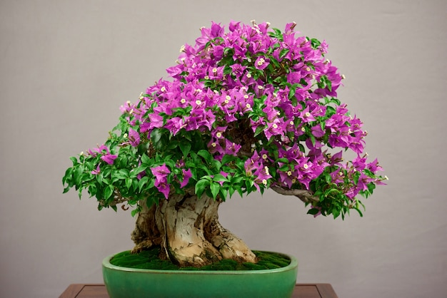 Free Photo Little Bonsai Tree With Pink Flowers