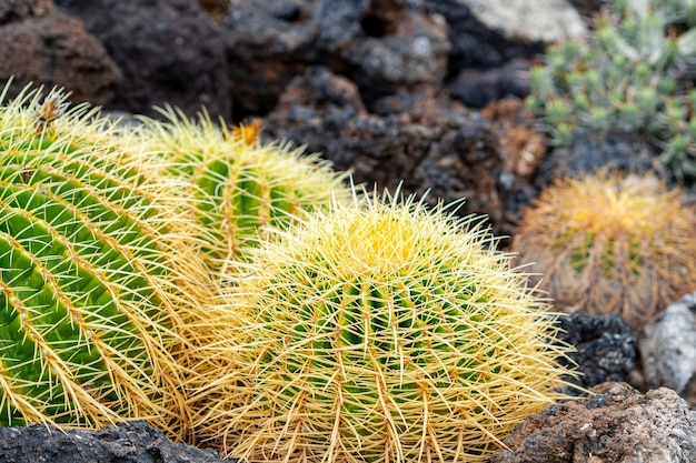 Little cactuses growing through the rocks Free Photo