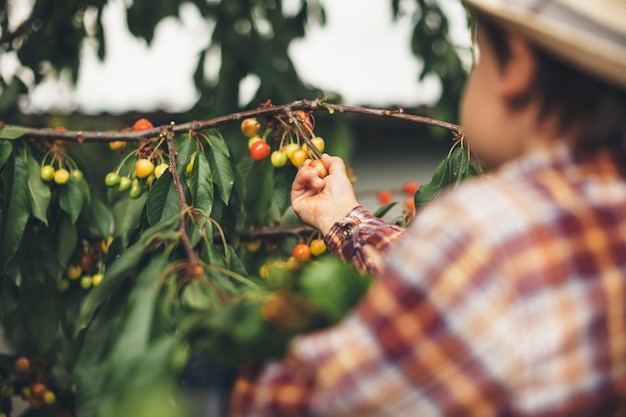 Little caucasian boy with a hat eating cherries from the tree held by his parents Premium Photo