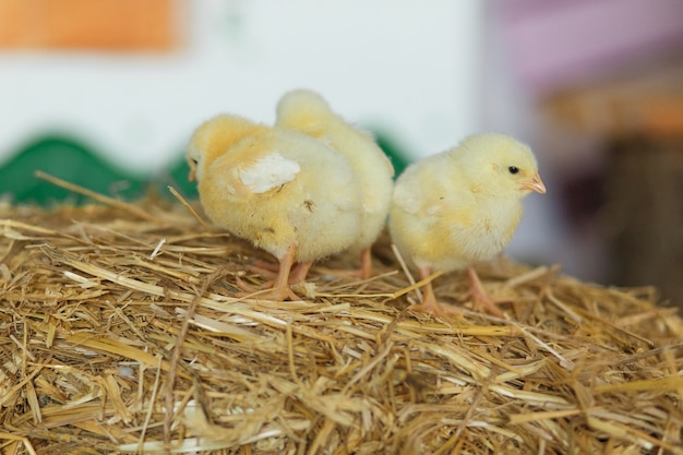 Little chicks on the hay. easter concept. Free Photo