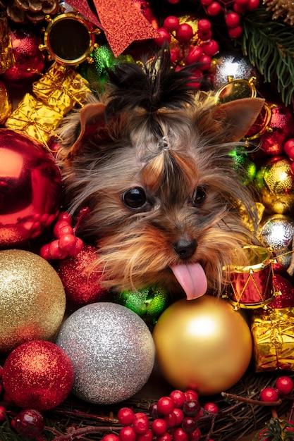 Маленькая собака чихуахуа позирует как рождественский олень, изолированные на белом фоне. Бесплатные Фотографии