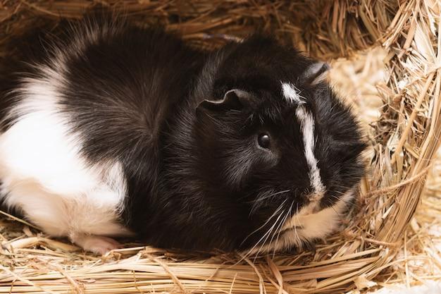 Little cute black and white guinea pig close up. Premium Photo