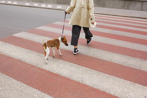 彼の所有者と横断歩道を渡る鎖のジャックラッセルテリアの品種の小さなかわいい犬 無料写真