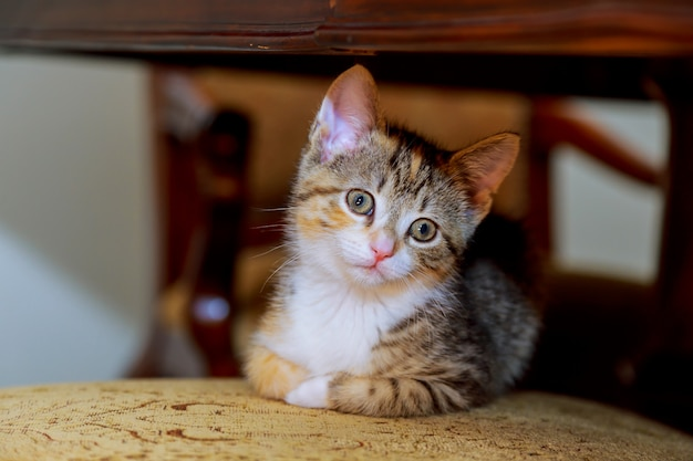Little cute kitten striped white coloring with blue eyes sitting on a wicker chair Premium Photo