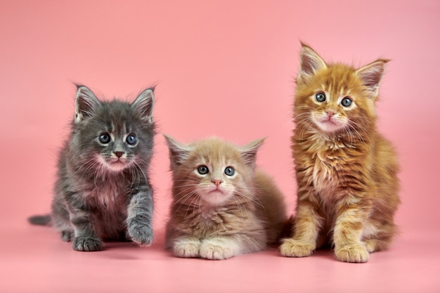 Little cute maine coon kittens on pink background Premium Photo