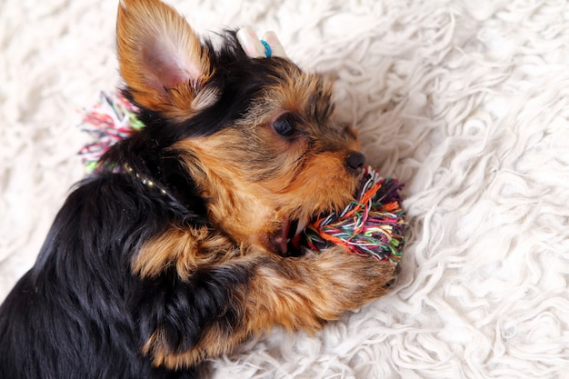 Little cute puppy at home Free Photo