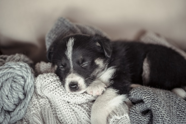 Little cute puppy lying with a sweater. Free Photo